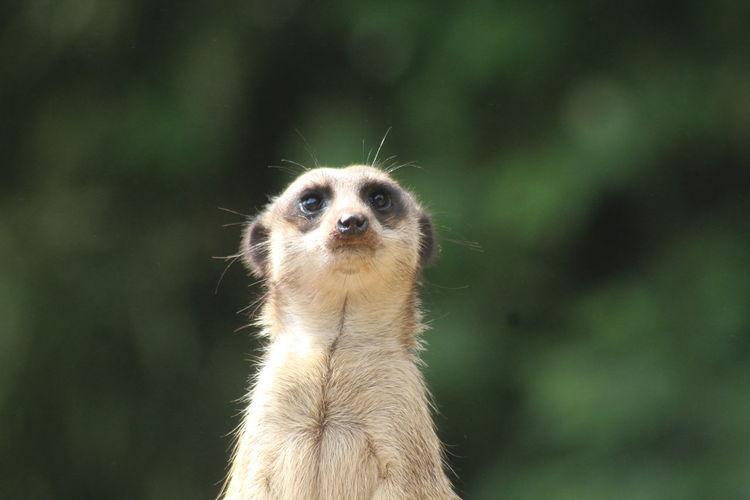 Meerkat EyeEm Nature Lover EyeEm Selects EyeEm Masterclass EyeEmNewHere EyeEm Best Shots HEAD Nose Mug Shot Police Station Closing Vulture Teeth Tropical Bird Animal Eye Animal Hair Human Nose Hair Snout Guarding Eye Ear Mouth Lemur Kitten
