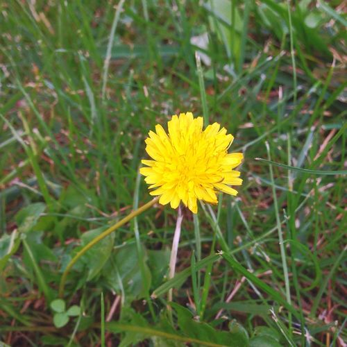 Flower Yellow Bloom Nature Beauty In Nature Plant Flora Green Dandelion Yellow Dandellion Relax just a little yellow dandelion 😊 Fragility Freshness Petal Flower Head Growth Single Flower Stem Close-up Season  Vibrant Color Springtime Grass In Bloom Blossom