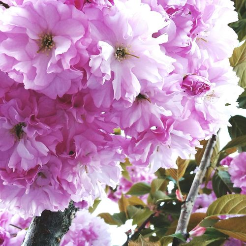 Flower Pink Color Beauty In Nature Day Spring Nature Cute