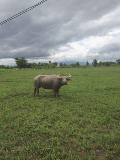 Buf🍔 Animal Photography Buffalo Thailand Buffalo Animal Cloud - Sky Animal Themes Nature Landscape Sky One Animal Outdoors
