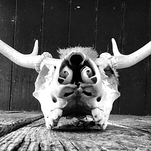 Skull Cowskull Bw Skull Bwworld Bwphotography Beautifulbw Day Looking At Camera Blackandwhite Black And White Black & White Blackandwhite Photography Black And White Photography Black&white Blackandwhitephotography Black And White Collection  Creativity Dead Cow Outdoors Weathered Old Southtexas Nature Death Natural Pattern