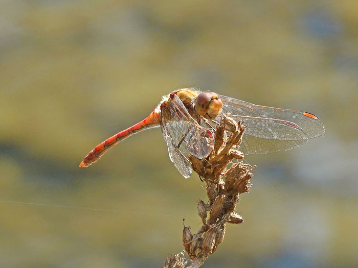 Sympetrum Striolatum - Serchio River Anisoptera Arthropoda Beauty In Nature Close-up Dragonfly Happy Dragonfly On Plant Dragonfly Portrait Focus On Foreground Hexapoda Insect Insecta Libellulidae Nature Odonata Odonata Happy Odonata On Plant Odonata Portrait Outdoors Sympetrum Sympetrum Striolatum