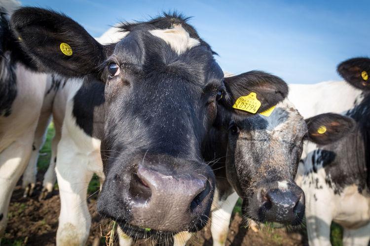 Portrait of cattle on field against sky