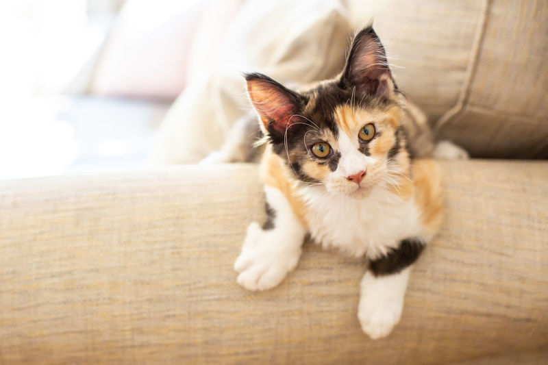 Animal Eye Cat Domestic Domestic Animals Domestic Cat Feline Focus On Foreground Furniture Indoors  Looking At Camera Mainecoon Mammal No People One Animal Pets Portrait Relaxation Sofa Vertebrate Whisker