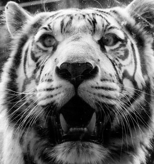 Animal Head  Animal Markings Animal Themes Animal Wildlife Animals In The Wild Close-up Day Front View Looking At Camera Mammal Nature No People One Animal Outdoors Portrait Tiger Whisker White Tiger