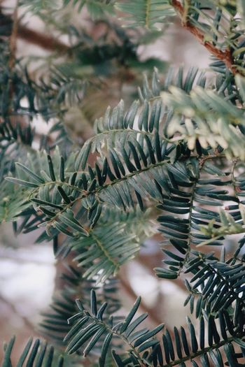 High angle view of pine tree leaves