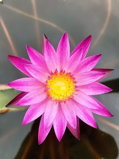Lotus Pink Lotus Flower Lotus Flowering Plant Flower Flower Head Inflorescence Close-up Beauty In Nature Petal Pink Color Vulnerability  Fragility Pollen Yellow High Angle View No People Multi Colored Floral Pattern Nature Freshness Plant Growth