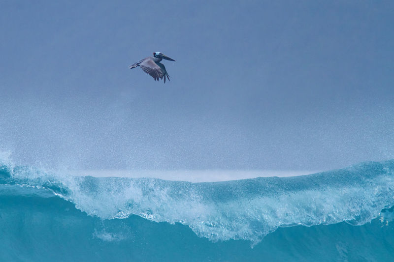 Low angle view of pelican flying over wave on sea against clear sky