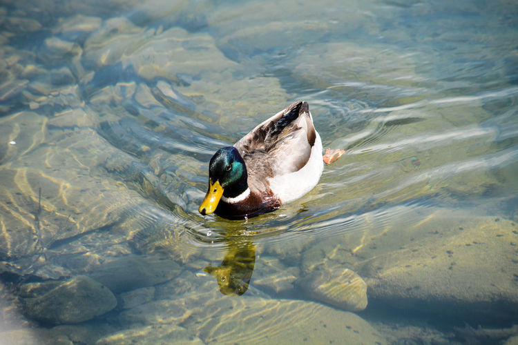 Cute duck swimming in shallow water
