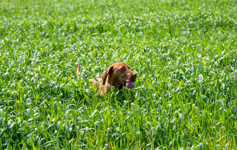 Field Hungarian Short-haired Pointing Dog Sunny Animal Themes Chase Day Dog Dog Ear Dog Tail Grass Green Color Nature No People Outdoors Pointing Dogs Summer