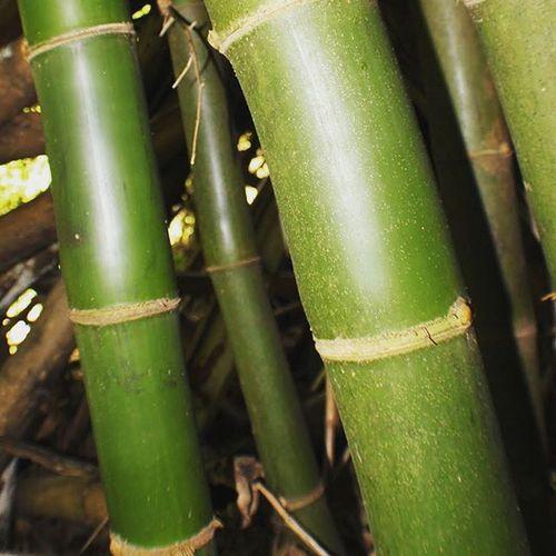 Bamboo Jamaklife Jamaica Ecotourism Westmoreland