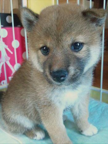 Dog 柴犬の柴田 Sibainu Shiba Inu 柴犬 Shibainu 産まれて3ヶ月くらいの柴田さん✨だいぶ前に2歳になりました🎂