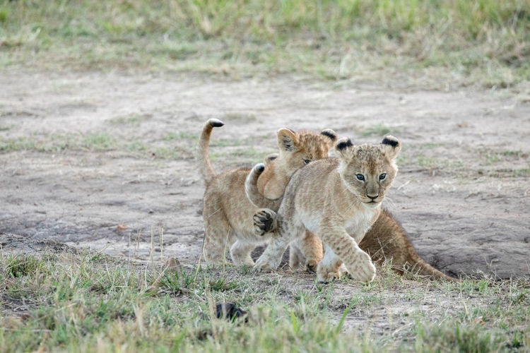 Full length of lion cub playing in forest