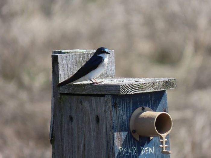 Tree swallow on wooden box feeder focus on the foreground EyeEm selects birdwatching birds of EyeEm beauty in nature outdoors EyeEm Selects Bird Animals In The Wild One Animal Perching No People