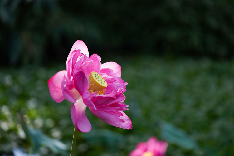 荷花 Flower Head