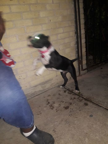 Capturing Motion Domestic Animals Togetherness Outdoors Bullybreed Pets Breed Dogs bullybreed