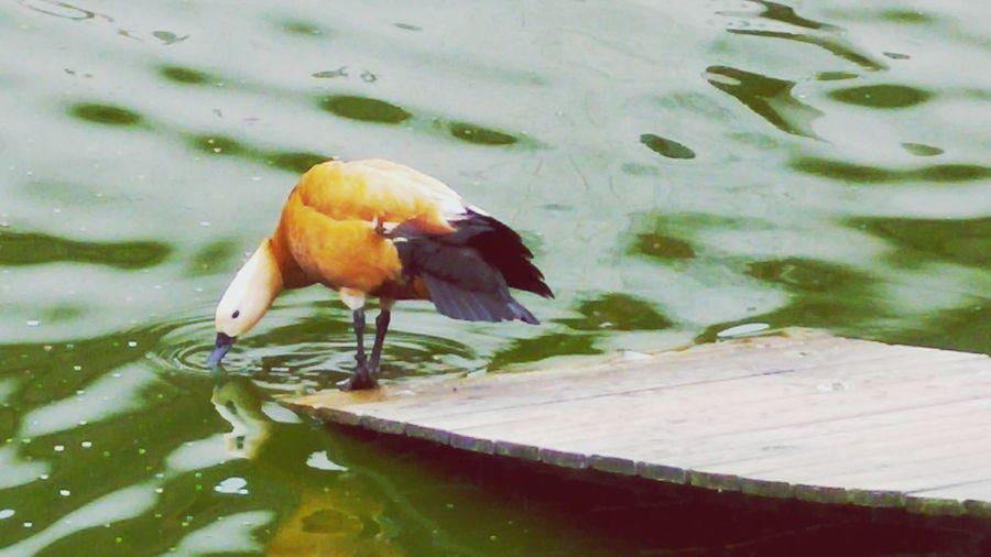 Bird Photography Birds Of EyeEm  Nature Photography Aquatique Birds_collection Palmiped Oiseaux Palmipède