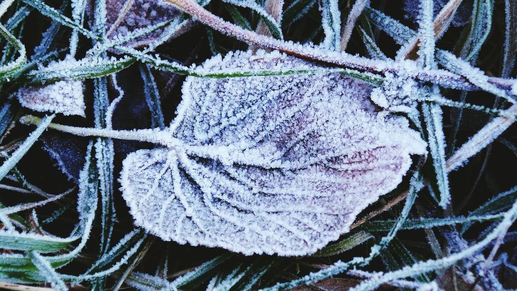 Winter Cold Temperature Weather Frost Backgrounds Outdoors Beauty In Nature How Is The Weather Today Symmetry In Nature Beauty In Nature Leaf The Places I've Been And The Things I've Seen Grass Autumn 2016 Frozen November2016 Snow Freshness Frozen Leaves First Touch Of Winter Coldweather Winter Is Coming... It Is Cold Outside Iced Bokeh