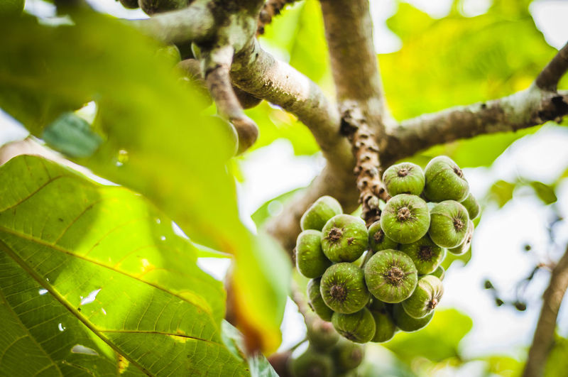 Bunch of fruit on fig tree