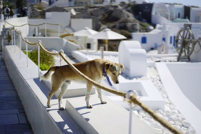 Animal One Animal Mammal Domestic Animals Animal Themes Dog Outdoors Day No People Building Exterior Architecture Sky Vacations Streetphotography First Eyeem Photo Low Angle View Santorini, Greece dog Built Structure Whitewashed Travel Destinations Architecture