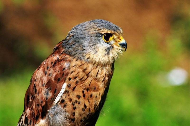 Close-up of kestrel looking away