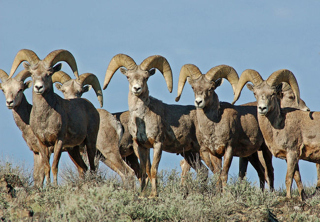 Animal Themes Big Game Big Horn Sheep Close-up Day Desert Life Elusive Fast High Desert Wildlife Horns Hunt For Food Large Group Of Animals Mammal Muscles Nature No People Outdoors Owyhee Refugees Sky Strong View Of Big Horn Western Wildlife Wild Sheep Wilderness