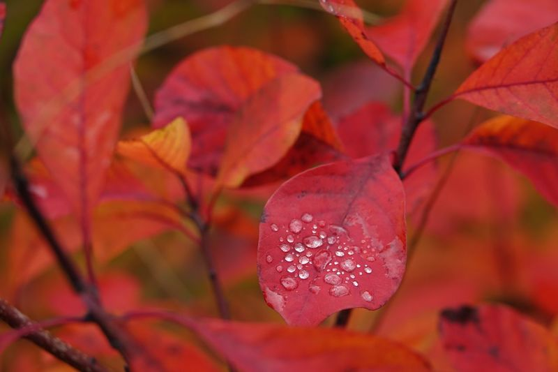 Autumn Raindrops Beauty In Nature Westonbirt Arboretum Raindrops Rain Growth Close-up Leaf Focus On Foreground Nature Red Drop Autumn First Eyeem Photo EyeEmNewHere