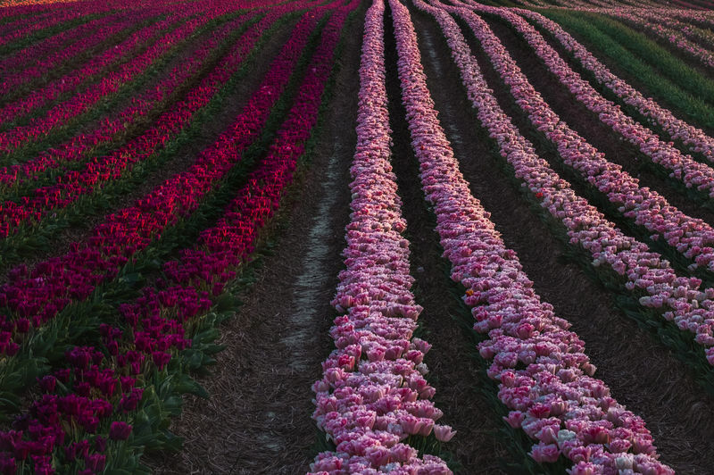 Full frame shot of fresh purple flowers in field