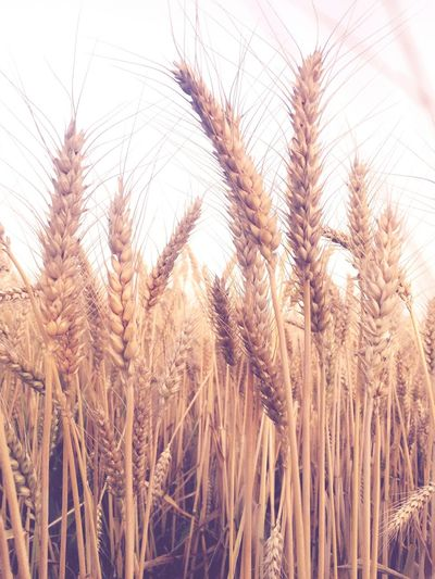 Growth Agriculture Ear Of Wheat
