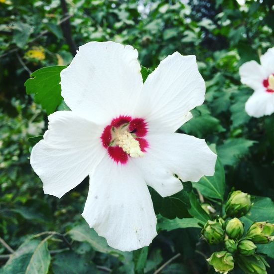 Photography Flower White Color Petal Nature Fragility Flower Head Beauty In Nature No People Outdoors Close-up Focus On Foreground Freshness Plant Blooming Beautiful Taking Photos Portrait Nature EyeEm Selects Plant Beauty In Nature Growth Day Tree The Week On EyeEm