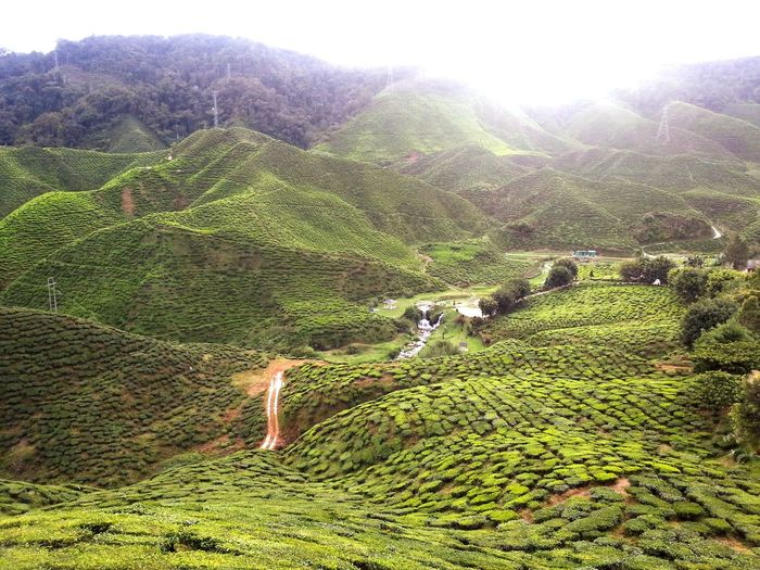 Beautiful landscape of tea plantations in Cameron Highlands, Pahang. Wonderful view, fresh crsip cool air and the peaceful serenity of this place makes it an exquisite experience. 💖💖 Tea Teaplantations Tea Plantation  Tea Plantations Tea Leaves Green Green Leaves Beautiful Nature Photography Nature_collection Landscape_collection EyeEmNatureLover Naturephotography Naturelover Landscape Nature Photography [a:3648403] Beauty In Nature Beautiful Nature Hilltop Hills And Valleys HillTopView Cameron Highlands Cameronhighlands Pahang, Malaysia Pahang Serenity Foresthills Feel The Journey Colour Of Life Color Palette Eyeemphoto