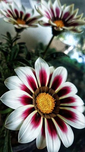 Amaxing Gazania Gpmzn Beautiful Flower White Flower Flower Head Flower Yellow Petal Stamen Pollen Close-up Blooming Plant