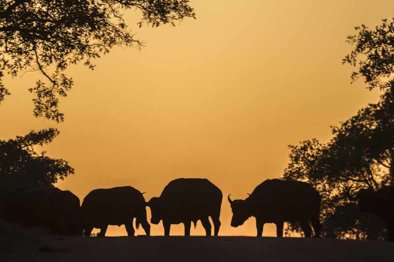 Silhouette buffaloes on field against sky during sunset