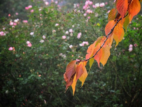Nature Leaf Beauty In Nature Focus On Foreground Change Growth Outdoors Plant Autumn Close-up Fragility Leaves No People Day Tree Season  Contrast Contradiction Bloom Pink Flower Outside Blooming Beauty In Nature Nature Autumn