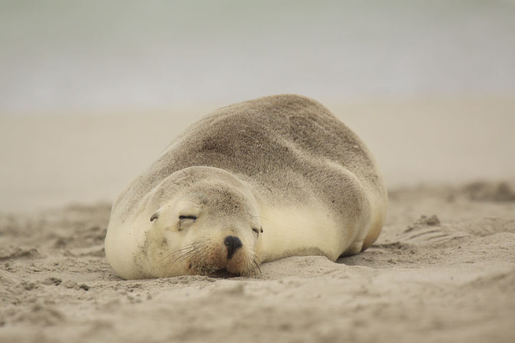 Surface level of sea lion sleeping on sand at beach