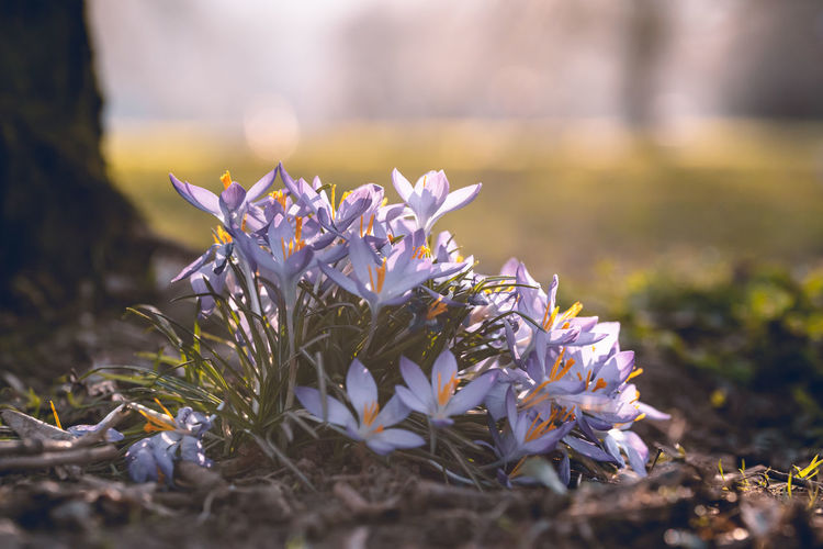 Flower Flowering Plant Growth Fragility Beauty In Nature Plant Vulnerability  Freshness Close-up Selective Focus Flower Head No People Nature Focus On Foreground Land Field Day Sunlight Outdoors Purple Petal Springtime Crocus Flowerbed