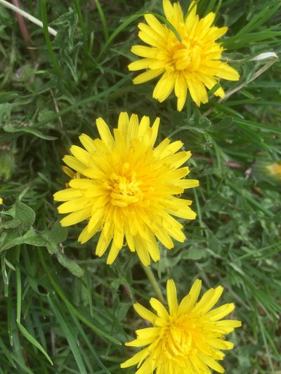 Heilkraut🌾 Heilkräuter🌾 Löwenzahn Essbare Blüten🌾 Flowers Blume Blumen IPhoneography EyeEm Nature Lover Eye4photography
