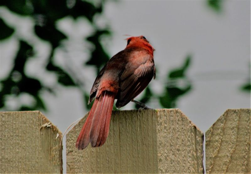 Animal Themes Animals In The Wild Bird Close-up Day From Behind Nature No People One Animal Outdoors Perching Redbird