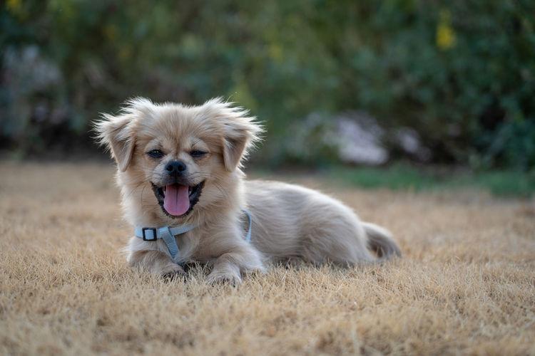 Portrait of dog on field puppy yawning