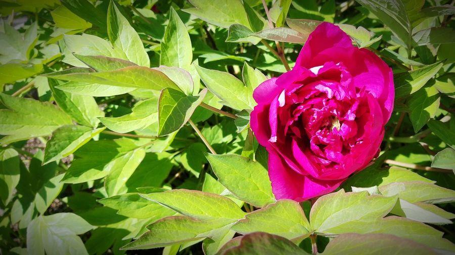 Pion #2 Flower