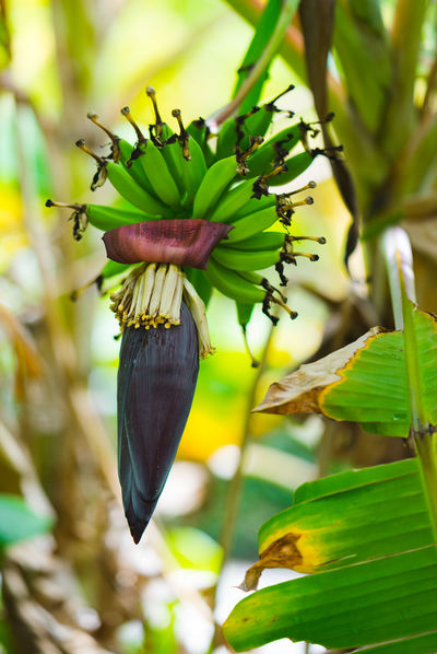 Banana in the wilderness Banana Banana Tree Beauty In Nature Close-up Day Flower Flower Head Flowering Plant Focus On Foreground Food Food And Drink Freshness Green Color Growth Healthy Eating Leaf Nature No People Outdoors Plant Plant Part Wellbeing