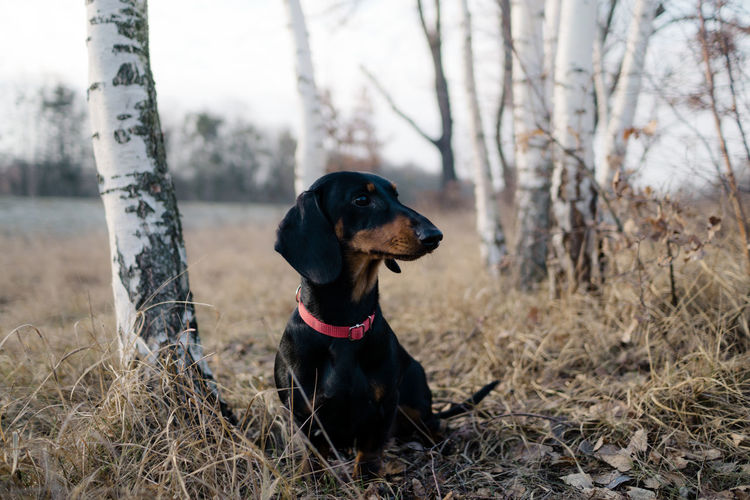 Nature Outdoors Sony A6000 One Animal Dog Canine Mammal Animal Animal Themes Pets Domestic Animals Land Domestic Vertebrate Tree Plant Field Focus On Foreground Day Looking No People Looking Away Purebred Dog Dachshund My Best Photo