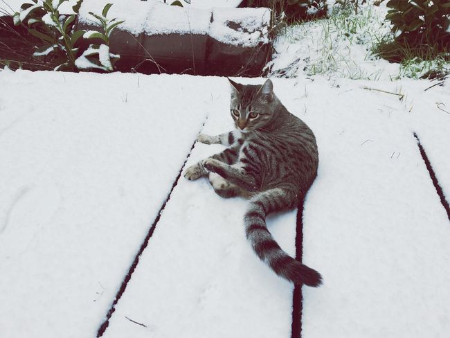 Snowy cat ❄️ Domestic Cat Feline Animal Themes Cat One Animal Pets Domestic Animals Mammal No People Nature Outdoors Day Snow ❄ Snow Winter Cold Temperature Nature Love Kitten Eye On The Prize