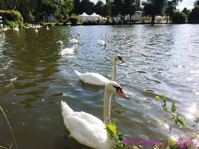 Swans ❤ Swans Swans On The Lake Swan Swans Swimming Swan On Lake in Metz Metz, France Schwäne Schwan  , Cygne Cygnes Iphonephotography Saturday Afternoon Walk Saturday Afternoon Samstagsimpression Samedi Après-midi