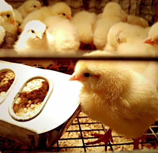 Farm Baby Animals Baby Chickies New Life Fluffies