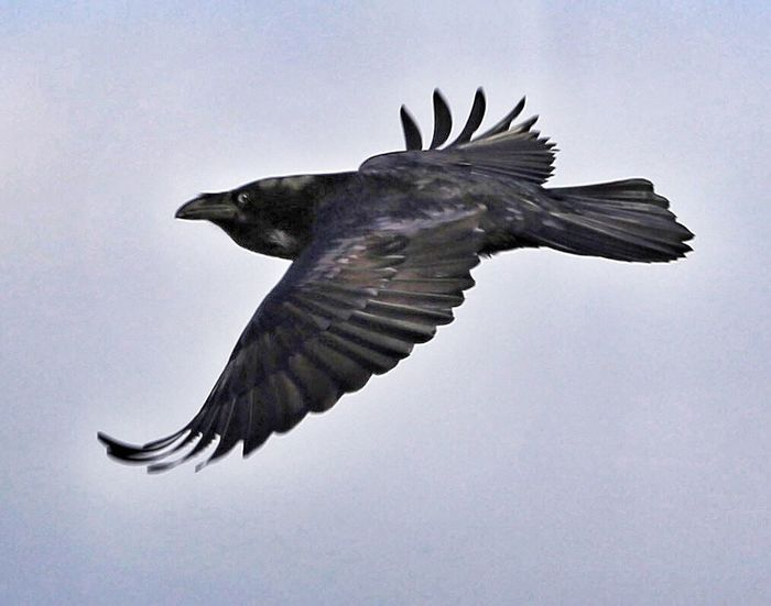 He's seen me. Blackbird Spread Wings Flying Bird EyeEm Nature Lover