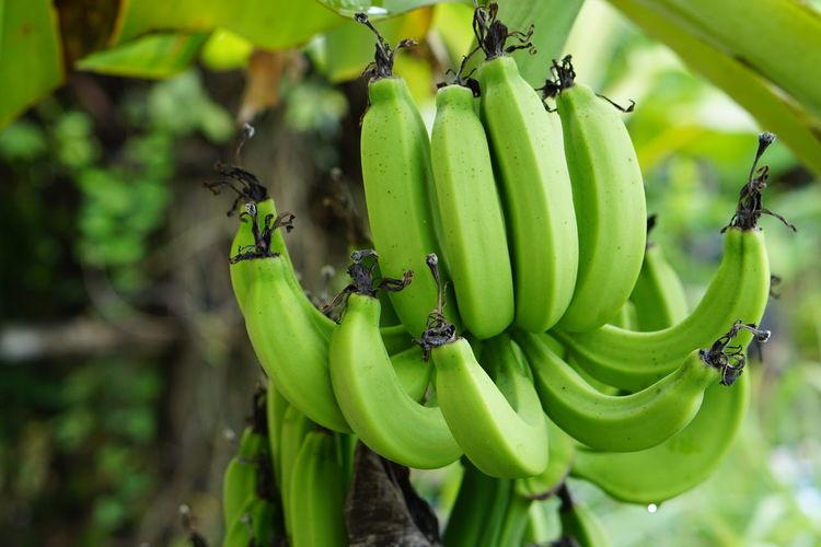 Close-up of bananas hanging on tree