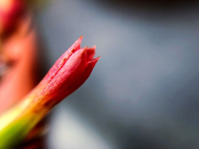 Close-up Freshness Red Beauty In Nature Vulnerability  Flower Plant