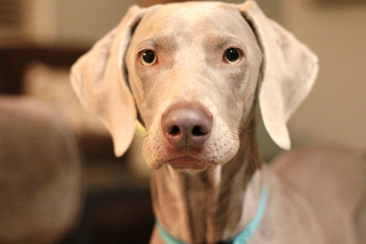 Looking At Camera Dog One Animal Pets Weimaraner Close-up Portrait Animal Body Part Mammal No People Domestic Animals Animal Themes Day Sofie