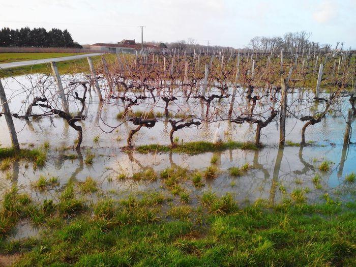 Les vignes les pieds dans l'eau. Vignes WikoInnondation  Angouleme